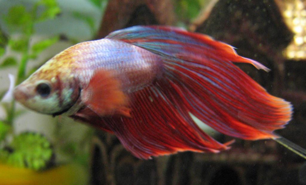 confezione iPhone 6S pesce combattente